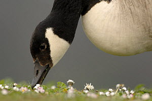 Canada goose (Branta canadensis) grazing at Walthamstow reservoir, London, UK  -  Laurent Geslin