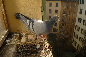 Feral pigeon (Columba livia) on its nest with two chicks, above the streets of Geneva, Switzerland - Laurent Geslin