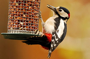 Great spotted woodpecker (Dendrocopos major) perched on a bird feeder, eating peanuts. London, UK - Laurent Geslin