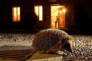 Hedgehog (Erinaceus europaeus) at night in front of house lit up, Geneva, Switzerland  -  Laurent Geslin