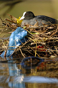 Coot (Fulica atra) on its nest with rubbish items, in  urban park, London, UK  -  Laurent Geslin