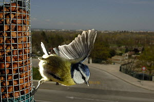 Blue tit (Parus caeruleus) taking off from a bird feeder, with urban landscape in the background. Geneva, Switzerland - Laurent Geslin