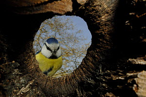Blue tit (Parus caeruleus) at the entrance to its nest in a tree, viewed from inside, Geneva, Switzerland  -  Laurent Geslin