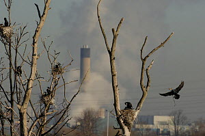 Common cormorant (Phalacrocorax carbo) colony in trees, with industrial chimneys in the background, Walthamstow, England, UK  -  Laurent Geslin