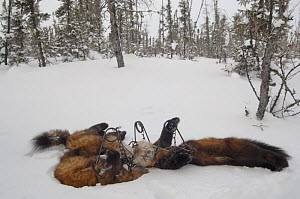 Four Pine martens (Martes martes) in the snow, killed by a fur trapper in the Canadian taiga  -  Laurent Geslin