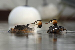 Great crested grebe (Podiceps cristatus) pair feeding their chicks, which are carried on their backs. Lake Geneva, Geneva, Switzerland  -  Laurent Geslin