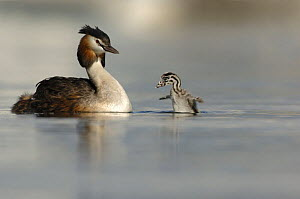 Great crested grebe (Podiceps cristatus) with chick flapping its wings. Lake Geneva, Geneva, Switzerland  -  Laurent Geslin