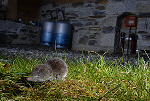 Common shrew (Sorex araneus) foraging for food in an urban garden at night. London, UK  -  Laurent Geslin