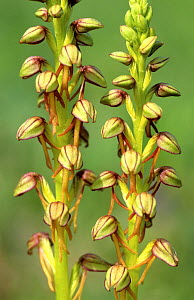 Man orchid (Orchis anthropophora) close up of flowers, Lorraine, France  -  Michel Poinsignon