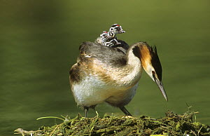 Great crested grebe (Podiceps cristatus) returning to eggs on nest with chicks on back, Lorraine, France - Michel Poinsignon