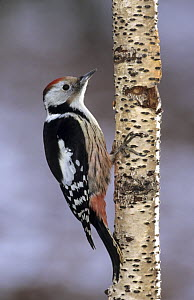 Middle Spotted Woodpecker (Dendrocopos medius), Lorraine, France  -  Michel Poinsignon