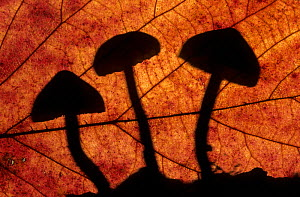 Toadstools outlined through a leaf, autumn, Lorraine, France - Michel Poinsignon