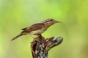 European Wryneck (Jynx torquilla) perched on branch with tongue sticking out, Lorraine, France  -  Michel Poinsignon