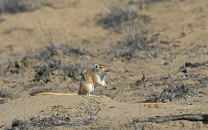 Giant / Mongolian gerbil (Meriones unguiculatus) in the Chinese desert. September 2006  -  George Chan