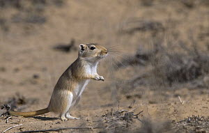 Giant / Mongolian gerbil (Meriones unguiculatus), alert in the Chinese desert. September 2006  -  George Chan