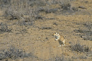 Giant / Mongolian gerbil (Meriones unguiculatus), alert and looking out for danger in the Chinese desert. September 2006  -  George Chan