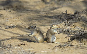 Two Giant / Mongolian gerbils (Meriones unguiculatus), alert and looking out for danger in the Chinese desert. September 2006  -  George Chan