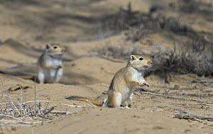 Two Giant / Mongolian gerbils (Meriones unguiculatus), alert and looking out for danger in the Chinese desert. September 2006,  -  George Chan