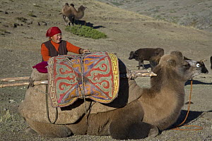 Nomadic Kazakh woman packing belongings on a camel as her family migrates from summer to winter pastures in the Altai Shan Mountains, near the Mongolian border in Xinjiang Province, North-west China....  -  George Chan