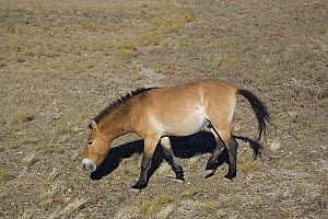 Przewalski's Horse (Equus ferus przewalski) in Kalamaili National park, Xinjiang Province, North-west China, September 2006. The horses have been re-released after a captive breeding programme  -  George Chan