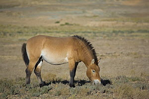 Przewalski's Horse (Equus ferus przewalski) in Kalamaili National park, Xinjiang Province, North-west China, September 2006. BBC  The horses have been re-released after a captive breeding programme  -  George Chan