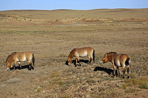 Przewalski's Horses (Equus ferus przewalski) in Kalamaili National park, Xinjiang Province, North-west China, September 2006 The horses have been re-released after a captive breeding programme  -  George Chan