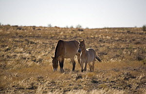 Przewalski's Horses (Equus ferus przewalski) in Kalamaili National park, Xinjiang Province, North-west China. September 2006. The adult horses have been re-released after a captive breeding programme,...  -  George Chan