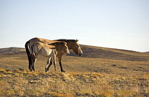 Przewalski's Horses (Equus ferus przewalski) in Kalamaili National park, Xinjiang Province, North-west China, September 2006. The adult horses have been re-released after a captive breeding programme,...  -  George Chan