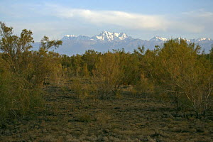 The snow-capped Tian Shan (Heavenly Mountains) viewed from amongst the Saxaul Trees (Haloxylon ammodendron) in the Junggar Basin, Xinjiang Province, North-west China. September 2006  -  George Chan