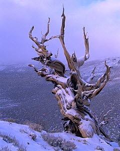 A twisted, snow-covered Intermountain Bistlecone pine (Pinus longaeva) in Inyo National Forest, California - Jack Dykinga