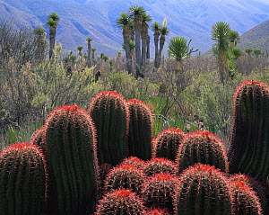 A cluster of flowering Barrel cacti (Ferocactus stainsii) with Yuccas (Yucca sp) in the Eastern extension of the Chihuahuan Desert, Tamaulipas, Mexico  -  Jack Dykinga