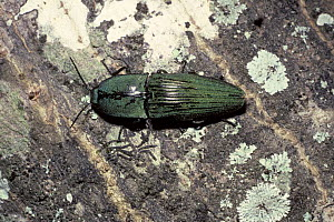 Click beetle (Chalcolepidius porcatus) a large species which lays eggs in dead trees, in rainforest, Trinidad  -  Premaphotos