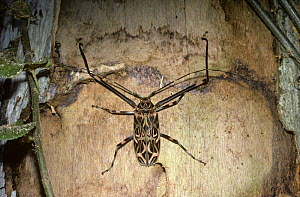 Harlequin beetle male (Acrocinus longimanus) above one of the characteristic oval larval galleries, in a dead tree in rainforest, Trinidad - Premaphotos