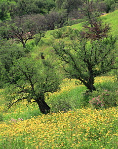 Summer poppies (Kallstroemia grandifolia) and oaks (Quercus sp) after record summer rains in the Coronado National Forest, Arizona  -  Jack Dykinga