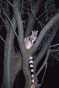 Small-spotted genet {Genetta genetta} sitting in tree at night, Maasai Mara, Kenya - Anup Shah