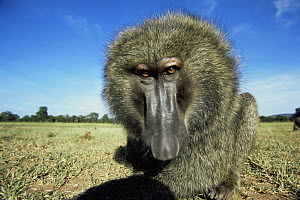 Olive baboon {Papio anubis} close up , low angle, East Africa  -  Anup Shah
