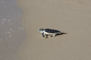 Australian flatback sea turtle hatchlings (Natator depressus)  from captive release programme,  reaches the sea after crawling down beach from nest, Crab Island, Torres Strait, Queensland, Australia  -  Doug Perrine