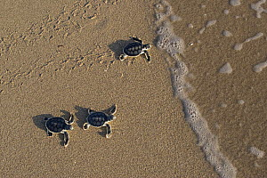 Australian flatback sea turtle hatchlings (Natator depressus)  from captive release programme,  reach the sea after crawling down beach from nest, Crab Island, Torres Strait, Queensland, Australia  -  Doug Perrine