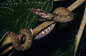 Young Eyelash viper {Bothrops schlegelii} showing how the dorsal skin closely matches that of a branch in colour and texture, Ecuador  -  Robert Valentic