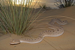 Arabian Horned Viper (Cerastes gasperetti) in desert, Sharjah, UAE  -  Tony Phelps
