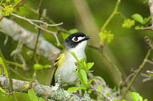 Black-capped Vireo (Vireo atricapilla) 2 year old banded bird, Balcones Canyonlands NWR, Texas, USA, Vulnerable  -  David Welling