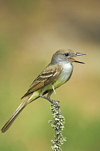 Brown-Crested Flycatcher (Myiarchus trannulus cooperi) singing, Rio Grande Valley, Texas, USA  -  David Welling