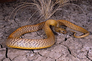 Inland taipan {Oxyuranus microlepidotus} investigating cracks in dried earth for its prey, the Long haired rat, Goyders Lagoon, South Australia - Robert Valentic