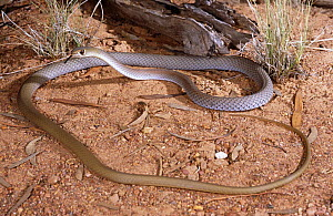 Yellow faced whipsnake {Demansia psammophis psammophis} hunting for lizards, New South Wales, Australia  -  Robert Valentic