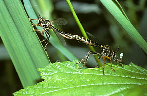 Common red-legged robber fly (Dioctria rufipes) mating pair, UK  -  Premaphotos