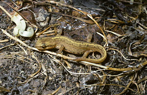 Common / Smooth newt (Triturus vulgaris ) in its terrestrial state away from water, UK  -  Premaphotos