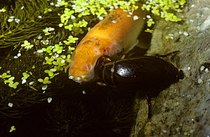 Great diving beetle (Dytiscus marginalis) feeding on a goldfish in a garden pond, UK  -  Premaphotos