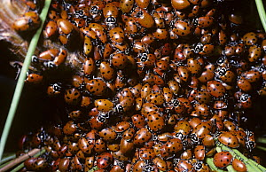 Mass of Convergent ladybirds (Hippodamia convergens) hibernating on a pine tree in mountains, Arizona, USA  -  Premaphotos