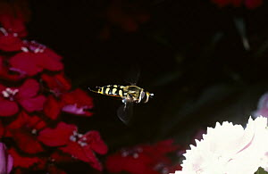 Yellow-rimmed icon hover fly (Metasyrphus corollae) flying between two Sweet William flowers in a garden, UK - Premaphotos