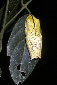 Geographical / Map tree frog (Hyla geographica) adult in resting pose mimicking a yellow blotch on a leaf, in rainforest, Brazil  -  Premaphotos
